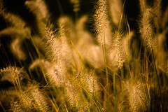 _MG_6360-11 (k.a. gilbert) Tags: grass outside outdoors naturallight seeds handheld fullframe canon35135mmf3545 canon5dc