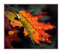 WITHERING HEIGHTS (Walter A. Aue) Tags: autumn canada leaves novascotia trail oakleaf herbstblaetter walteraaue