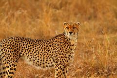 Cheetah (Rainbirder) Tags: kenya cheetah maasaimara acinonyxjubatus rainbirder