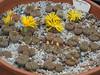 DSCF0393 (BobTravels) Tags: plant stone bob lithops lithop messem bobwitney