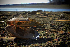 Empty Shell (tim.perdue) Tags: ohio abandoned broken nature creek dead little empty walnut shell clam reservoir shellfish hoover mudflats freshwater mollusk galena bivalve