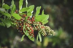 brilliant branches (the kelp knot) Tags: florida savannah redberries invasivespecies floridaholly fortpierce anacardiaceae christmasberry drupe brazilianpepper schinusterebinthifolius