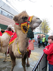 A horse designed by a committee (pefkosmad) Tags: christmas street animal animals streetscene gloucestershire camel gloucester camels citycentre bactrian hump threekings christmasiscoming eastgatestreet onehump shipofthedesert christmaslanternprocession