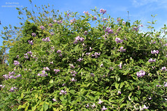 Clematis viticella 'Betty Corning' (Owl Prints) Tags: mygarden clematis clematisbettycorning