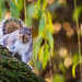 Willow Squirrel