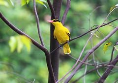 bird nature birds yellow singapore perched oriole blacknapedoriole blacknaped