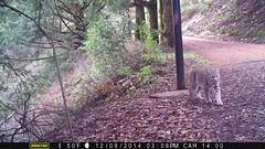 Bobcat 12/9/2014; San Mateo County, CA; motion-sensor camera (BobcatWeather) Tags: california mammal bobcat santacruzmountains sanmateocounty lynxrufus felidae cameratrap motionsensorcamera bobcatweather georgiastigall fwnp