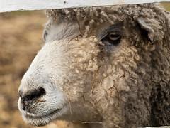 PC283849 (MizGingerSnaps) Tags: morning winter animals virginia december sheep sunday colonial pasture williamsburg colonialwilliamsburg cw critters creatures 2014 francisstreet