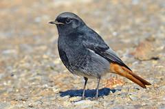 Rabirruivo Preto - Black redstart - Phoenicurus ochruros (Yako36) Tags: bird portugal ave birdwatching peniche tc14e nikonafs300f4 nikond7000