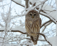 Chouette rayée - Barred Owl (Monique Coulombe) Tags: winter nature wildlife ngc raptor québec owl nationalgeographic barredowl naturephotography strigiformes winterbirds hibou rapace wildbirds strixvaria strigidae hootowl birdbokeh photonature chouetterayée naturequébec oiseauxduquébec naturesauvage oiseauxsauvages oiseauxdhiver birdinginthewild photographequébécois birdsofquebec quebecwildlife québecnaturesauvage moniquecoulombe