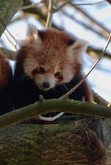 Kleiner Panda 79 (grasso.gino) Tags: bear red cute rot nature animals zoo tiere panda natur fluffy redpanda dortmund katzenbr br niedlich flauschig kleinerpanda