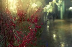 Red Berries (Kim Yokota) Tags: red toronto ontario canada rain night berries bokeh thedistillerydistrict gooderhamandwortsdistillery nikond7000 nikonafsnikkor24mmf14ged torontochristmasmarket