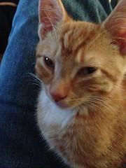 Cute Kitty Simba (Roy Richard Llowarch) Tags: cats pets animals cat ginger kitten feline sweet pussy kitty kittens kitties felines puss tomcat gingertom tomcats