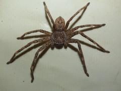 Sparassidae>Neosparassus calligaster Shield Huntsman spider DSCF5987 (Bill & Mark Bell) Tags: exmouth westernaustralia australia geo:town=exmouth geo:state=westernaustralia geo:country=australia geo:lon=11425453egeolat2217752sgeoalt8m 11425453e2217752salt8m taxonomy:kingdom=animalia animalia taxonomy:phylum=arthropoda arthropoda taxonomy:class=arachnida arachnida taxonomy:order=araneae araneae taxonomy:superfamily=sparassoidea sparassoidea taxonomy:family=sparassidae sparassidae taxonomy:genus=neosparassus neosparassus calligaster taxonomybinomialnameneosparassuscalligaster neosparassuscalligaster taxonomycommonnameshieldhuntsmanspider shieldhuntsmanspider spider