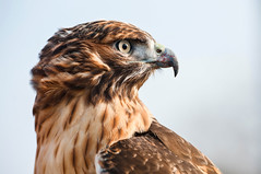 Red Tailed Hawk (laskaproject) Tags: autumn red portrait ontario canada sport hawk tail profile hunting beak feathers hawkeye woodstock hawking ohc fieldmeet hawkingclub ontarionhawkingclub