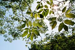 (photoCKD) Tags: china sunlight green leaf nikon october suzhou f100 nikonf100 中國 蘇州 kodakportra400 2013 afnikkor24mmf28d 全彩