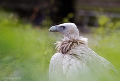 Schneegeier (AchimSchmidt) Tags: geier greifvogel schneegeier