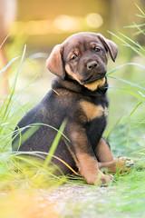 Akamaru (Maria Zielonka) Tags: dog dogs puppy photography mutt mix puppies fotografie fotografieren outdoor shepherd maria name wiese hund shooting doberman hybrid hunde mischling welpe namen akamaru schferhund dobermann welpen zielonka welpenshooting