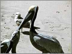 Big Fisher (Marcia Portess) Tags: beach pelicans nature mexico bigbird seaside sand map gull feathers playa aves pajaros puertovallarta pescador pelicanos playalosmuertos lanaturaleza marciaportess marciaaportess bigfisher