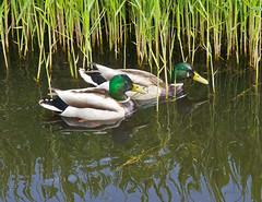 Stockenten / Mallards (schreibtnix) Tags: reed nature water birds animals closeup tiere canal wasser ducks mallard kanal enten vgel nahaufnahme anasplatyrhynchos schilf stockente olympuse5 schreibtnix
