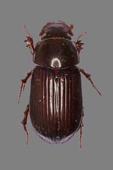 Dungkfer Aphodius rufipes (planetvielfalt) Tags: coleoptera scarabaeidae polyphaga scarabaeiformia aphodinae