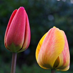 Colourful Twins (claudiusw) Tags: flowers macro deutschland spring colorful tulips tulip nrw netphen