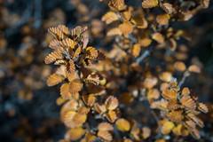 Fagus Macro (Cameron Semple - http://highandwide.com.au) Tags: bushwalking fagus mountfield tarnshelf