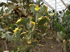 Cacti in bloom (cod_gabriel) Tags: cactus cacti blossom bulgaria jardimbotnico bloom opuntia botanicalgarden hortusbotanicus cactos  bulgarie kaktus jardnbotnico balchik  kakteen ortobotanico botanischergarten  bulgarije bulgarien dobrudja bulgaristan bugarska balcic   bugaria kakts dobrogea dobroudja    ogrdbotaniczny  cadrilater bulgria botanisktrdgrd  grdinabotanic botanikbahesi     dobruda dobruca dobruja  dobruda    balchikbotanicalgarden   kaktsgiller   dobrudzsa dobrugia dobroedzja dobrudzja   grdinbotanic kaktuszflk   kebunbotani gradinabotanicabalcic