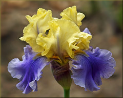 Iris flower in spring (Foto Martien) Tags: iris flower holland macro netherlands fleur dutch flor nederland alpha blume geotag lis slt veluwe bloem a77 macrophoto geotagging schwertlilien harskamp giaggiolo kosaciec zorgboerderij perunika  kosatec zorginstelling passiflorahoeve martienuiterweerd   minoltamacro100mm28mm fotomartien  slta77v a77v sonyalpha77 geotaggedwithgps