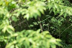 (23fumi) Tags: plant green leaves leaf nikon 85mm    d600  afs85mmf18g