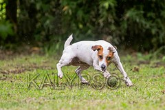 Jack Russell Terrier Trying To Catch A Ball (kalypsoworldphotography) Tags: dog smart closeup female forest training pose fun freedom athletic energy looking dynamic action outdoor expression background air hunting meadow adorable fast canine running run front terrier ear strong tennisball creature excitement behavior companion powerful leap isolated jackrussellterrier sturdy clever tenacity intensity intelligent determination hypnotized courageous tenacious discipline energetic parsonterrier