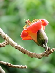bee and orange flower (oneroadlucky) Tags: orange plant flower nature animal bee   bombaxceiba