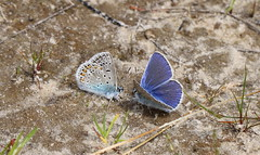 """Plebejus argus""- heideblauwtje (bugman11) Tags: blue macro nature animal animals fauna canon butterfly bug insect blauw nederland thenetherlands butterflies insects bugs 1001nights thegalaxy 100mm28lmacro 1001nightsmagiccity"