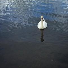 Swan #westportlake (quimby) Tags: lake bird square swan squareformat westport iphoneography instagramapp uploaded:by=instagram