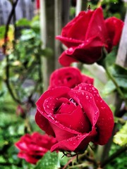 Roses in the rain III (JaccoOooo) Tags: flowers roses flower nature rain rose garden raindrops manual iphone iphoneography snapseed