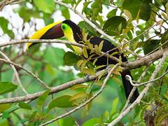 P4278771 (lychee_vanilla) Tags: bird animal toucan costarica tier tucn blackmandibledtoucan ramphastosambiguus vigel quioro tucnpiconegro