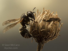 Potter Wasp (Sean McCann (ibycter.com)) Tags: bc hymenoptera vespidae eumeninae potterwasp saanichton cordovaspit