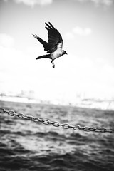 Fly (Bar Kemal Kirik) Tags: life city sunset sea wild sky blackandwhite bw sun white black bird animal freedom fly chaos folk live dream crown hunt