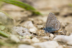 I walk alone (regisfiacre) Tags: blue macro nature butterfly insect meadow bugs bleu papillon prairie insecte argus oustide exterieur