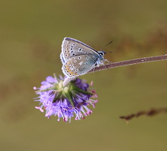 Common Blue Butterfly (patwyse152) Tags: ireland nature canon butterfly kildare