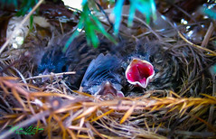 Hungry Mouths To Feed (mikederrico69) Tags: summer food canada nature birds animal mouth spring nest quebec beck robins eggs chicks hungry feed mouths feedingtime