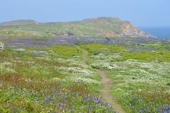 Great Saltee (CarolMoore007) Tags: mountain cliffs bluebells snowdrops heather salteeislands greatsaltee sky water nature landscape summer clouds flowers