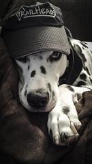Well...Hello Lassie! (stevef325) Tags: dog blackwhite canine spots mister dalmatian suave