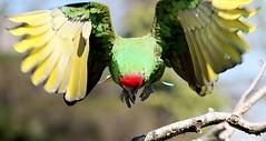 Attack! (Ger Bosma) Tags: southamerica mexico flying inflight wings flight parrot exotic tropical macaw takingoff takeoff militarymacaw aramilitaris soldatenara guacamayoverde aramilitaire papagayoverde guacamayomilitar kleinersoldatenara 2mg178870filtered