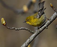 Pine Warbler (tindomul1of9) Tags: pine pins des warbler woodwarbler paruline parulidae