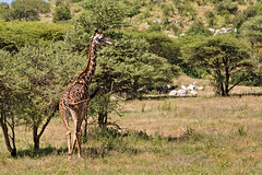 Giraffe 9-103 (Grete Howard) Tags: golkopjes kopje serengeti tanzania safari safariinafrica bestsafarioperator bestsafaricompany whichsafaricompany whichsafarioperator animals animalphotos animalsofafrica africa africansafari africanbush africananimals animal birds birdwatching birding gamedrive
