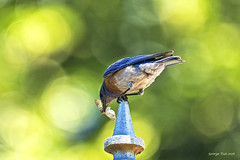 Tough place to eat (GeorgeTsai 168) Tags: western bluebird