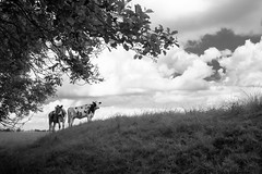 160702_SAM_7852 (Jan Jacob Trip) Tags: sky bw cloud white black tree netherlands grass animal landscape cow cattle explore groningen dike reitdiep littledoglaughednoiret