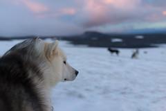 Dogsledding on Langjkull Glacier (Jayphen) Tags: snow ice dogs iceland glacier sledding dogsledding langjkull