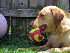 Daisy has a stare down with a faded basketball. (kennethkonica) Tags: red usa dog pet animal yellow america canon fence ball fun weeds backyard midwest lab labrador yellowlab shadows play action random outdoor indianapolis indy indiana canine buddy daisy buster mansbestfriend playtime playful animalplanet mydog global canonpowershot hoosier marioncounty animaleyes